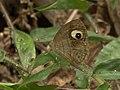 Glad eye bushbrown from siruvani IMG 3965.jpg
