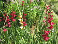 Gladiolus communis Gladiolus ხმალა (2).jpg