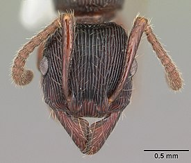 Gnamptogenys triangularis casent0103948 head 1.jpg