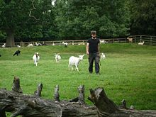 Dr Christian Nawroth showing how goats follow humans about.