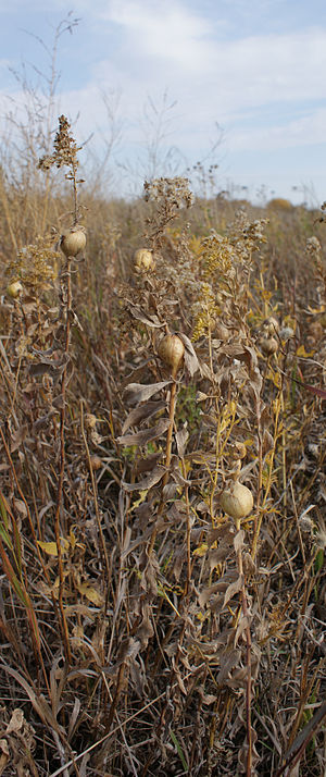 Gall - Goldenrod gall