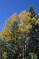 Golden Aspen (15448951205).jpg