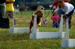 Golden Retriever Flyball.jpg