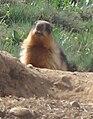 Golden marmot.JPG