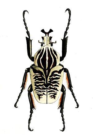 Goliathus - G. albosignatus