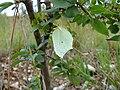 Gonepteryx rhamni - female 04 (HS).jpg