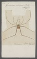 Goniosoma - Print - Iconographia Zoologica - Special Collections University of Amsterdam - UBAINV0274 069 05 0013.tif