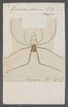 Goniosoma - Print - Iconographia Zoologica - Special Collections University of Amsterdam - UBAINV0274 069 05 0013.tif