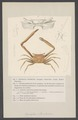Gonoplax rhomboides - - Print - Iconographia Zoologica - Special Collections University of Amsterdam - UBAINV0274 006 01 0020.tif