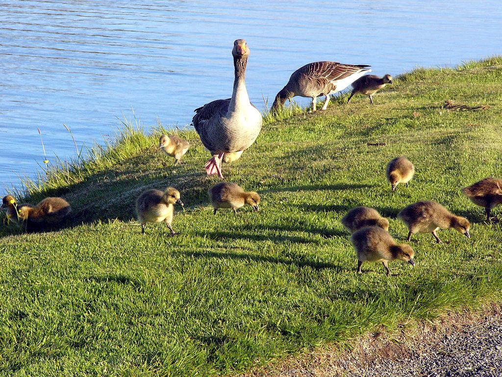 Husi divé s mláďatami