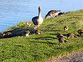 Goose01.jpg