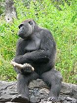 Gorilla gorilla gorilla3.jpg