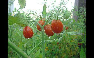 Grape tomato - Grape tomatoes on the vine