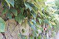 Grapes at Allerton (14775264499).jpg