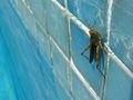 Grashopper saltón 162eue.jpg