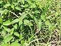 Grass hopper-20-muluvi-yercaud-salem-India.jpg