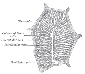 Liver sinusoid - Image: Gray 1092