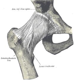 Связки, укрепляющие тазобедренный сустав.  Бедро - проксимальная часть...
