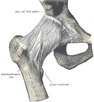 Iliofemoral ligament - Right hip-joint from the front. (Iliofemoral ligament visible at center.)