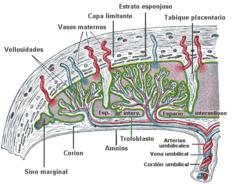 Circulación placentaria Editar