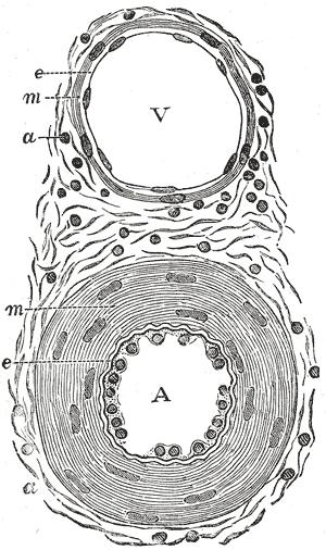 Tunica externa - Image: Gray 448