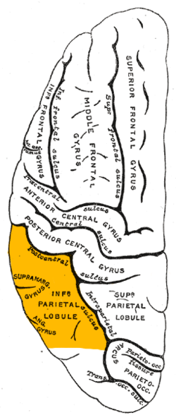 Inferior Parietal Lobule Wikipedia