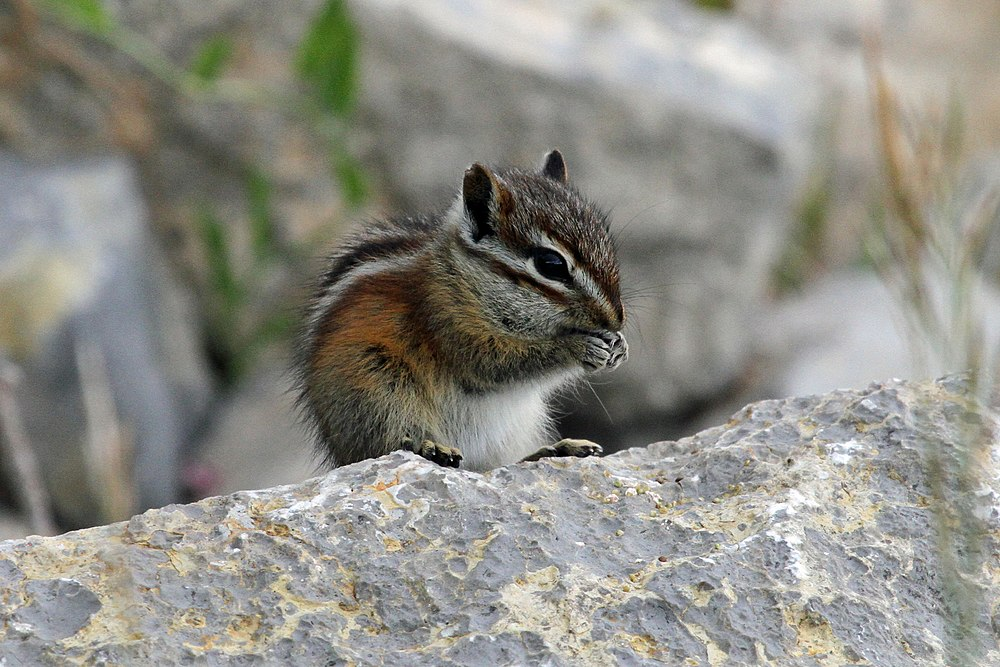 The average litter size of a Gray-collared chipmunk is 4