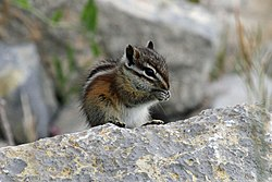 Gray Collared Chipmunk - Flickr - GregTheBusker.jpg