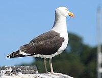 Great Black Backed Gull, Fowey, Cornwall - UK, July 25 2012. (7668580890).jpg