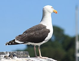 Great Black Backed Gull, Fowey, Cornwall - UK, July 25 2012. (7668580890).jpg