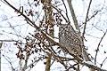 Great Horned Owl, J Clark Salyer NWR, North Dakota (14726730282).jpg