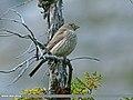 Great Rosefinch (Carpodacus rubicilla) (22699118447).jpg