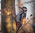Great spotted woodpecker (51025251906).jpg
