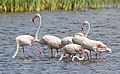 Greater Flamingo, Phoenicopterus roseus at Marievale Nature Reserve, Gauteng, South Afr (22775170833).jpg