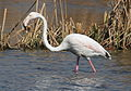 Greater Flamingo, Phoenicopterus roseus at Marievale Nature Reserve, Gauteng, South Africa (9711650774).jpg