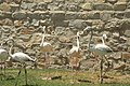 Greater Flamingo Iran.jpg