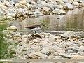 Green Sandpiper (Tringa ochropus) (36955521831).jpg
