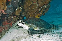 Mabel Island--Green Sea Turtle Biscayne