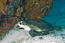 Sea turtle coming ashore