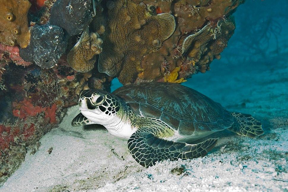 Green Sea Turtle Biscayne