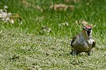 Green Woodpecker (34553033253).jpg