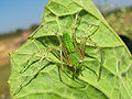 Green spider.jpg