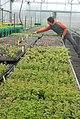 Greenhouse people reveg elwha seedlings NPS Photo (17345624076).jpg