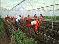 Greenhouse planting.jpg