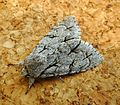 Grey-Dark Dagger. Acronicta psi-tridens - Flickr - gailhampshire.jpg