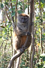bamboo lemur clinging to a vertical branch
