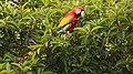 Guacamaya roja - panoramio.jpg