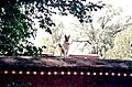 Guard dog on Norbulingka wall.JPG