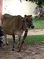 Gudibanda - cow.jpg