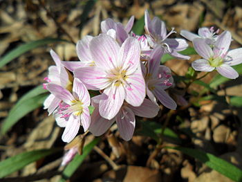 English: Spring Beauties
